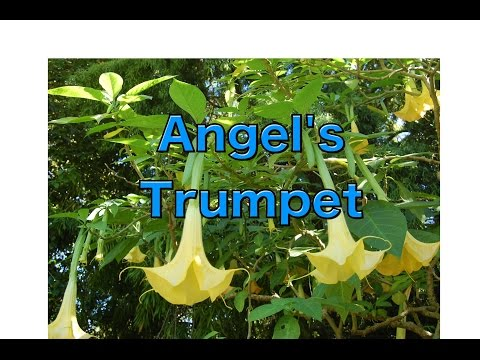 Growing Brugmansia from Seed - Angel's Trumpet