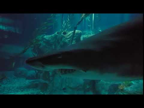 Speed of a shark in a confined tank.
