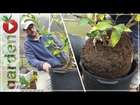 Repot A Meyer Lemon Citrus Tree, Why? - Organic Container Gardening with Bonus: Ducks In The Garden!
