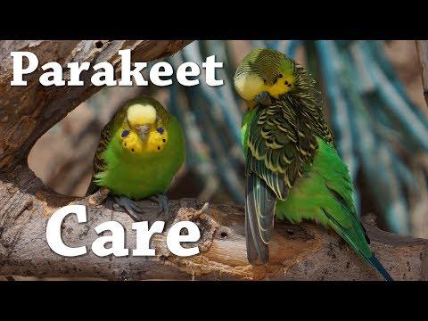 Parakeet|Budgie Care