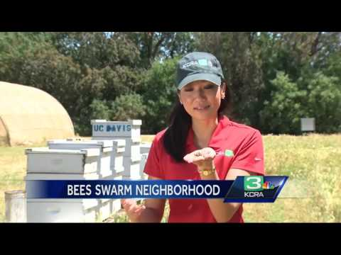 Should NorCal be worried about Africanized honey bees?