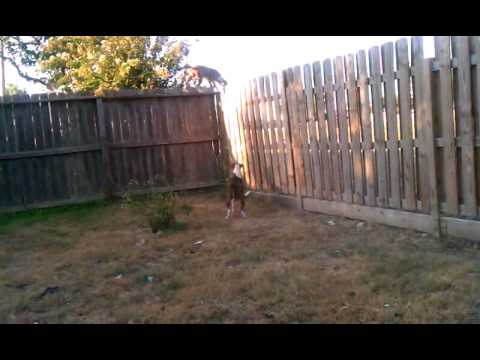 Dog jumping over 8 foot fence