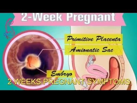 2nd week of pregnancy and 2 weeks pregnant symptoms early signs of pregnancy   Pregnancy Term