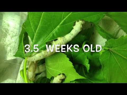 Silkworm lifecycle