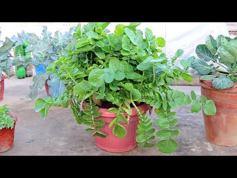 Growing white radishes in pot/Container - Urdu