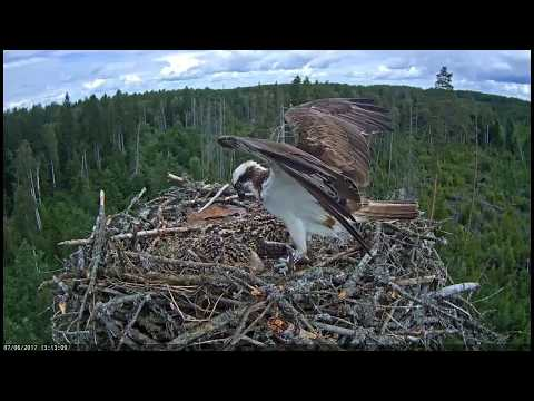 Osprey chick with the fish. / Estonian Osprey nest