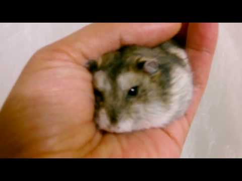HOW Can your hamster stay still in your hands,햄스터가 어떻게 당신의 손에 아직도 머물 수 있습니까?