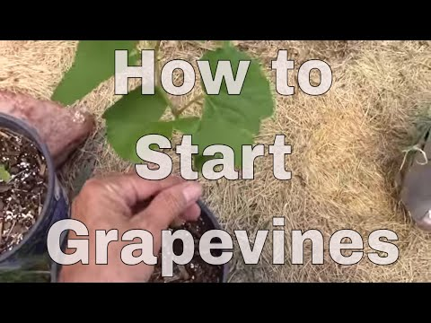 How To Start a Grapevine From a Cutting. The Easy Way, That Really Works.