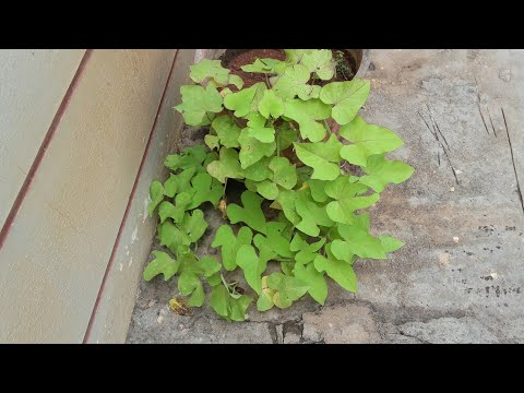 How to grow an ornamental sweet potato vine from a stem cutting