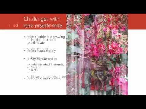 Rose Rosette Disease Vector - Eriophyid Mites