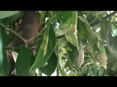 Citrus Tree Diseases Leaf Curl Mesa AZ 480 969 8808 Warner's Tree Surgery 08 11 2017