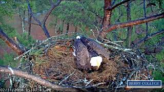 Berry College Eagles - Intruder attacks Mom at the nest-2-11-18