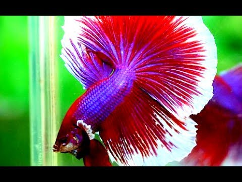 Ikan cupang stres.. apa yang perlu dilakukan ( betta fish stress.. what should i do..?? )