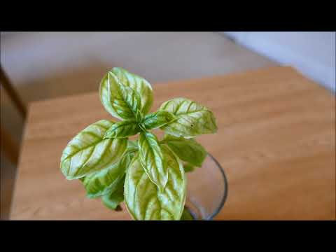 Iron Deficiency In Plants, With Time Lapse Recovery