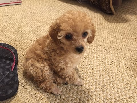 Lily Spreading Her Cuteness Puppy POODLE