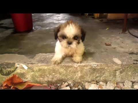 Dog Barking Sound Angry Shih Tzu Puppy