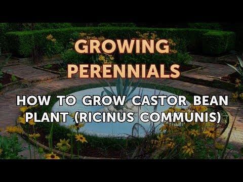 How to Grow Castor Bean Plant (Ricinus Communis)