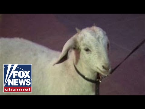 How goats are helping to end world hunger