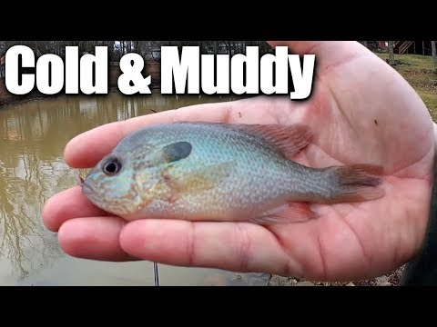 Fishing in Cold Muddy Water for Bluegill and Sunfish