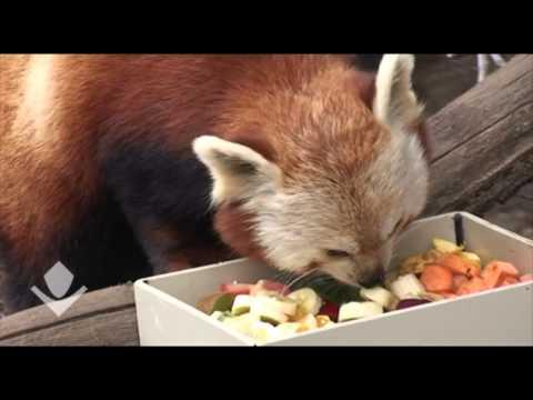 Red Panda Cute   Red Panda Eating