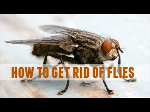 Methods To Get Rid Of Flies Fast- Natural Ways To Get Rid Of Flies
