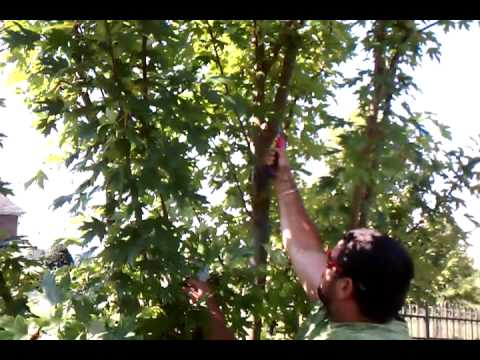 proper pruning of a young maple tree
