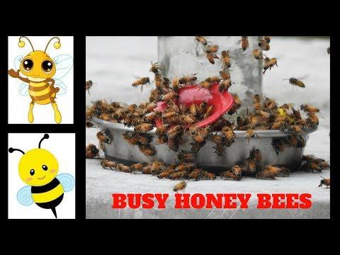Busy Honey Bees at Mason Jar Bee Feeder ~ Massachusetts