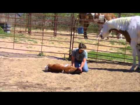 APHA Shesa Hot Lil OooLaLa - Laying Down a Baby Horse