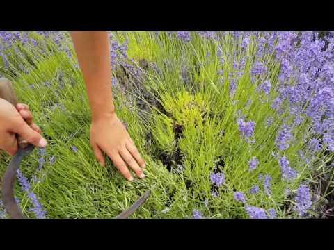 Okanagan Lavender Gardening Tip: How to Pick the Perfect Lavender Bundle