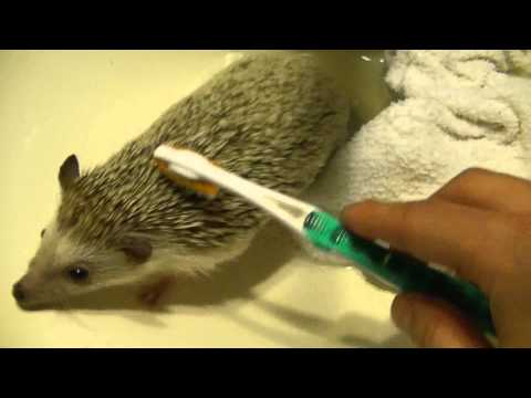 How to clean a Hedgehog!
