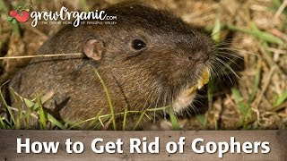 How To Get Rid Of Gophers