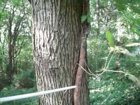 BIG! - Poison Ivy Vine On Tree