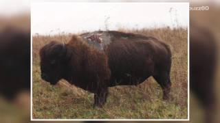 Badass bison survives being struck by lightning and has the scar to prove it