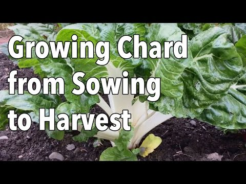 Growing Chard from Sowing to Harvest