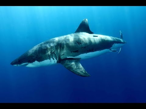Diving when... Great White Shark!