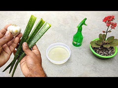 How to make natural pesticide using garlic and aloe vera | Best pesticide for plants