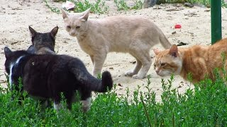 cats want mating