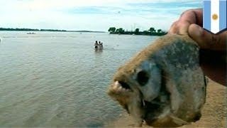Piranha Attack 70 Injured By Piranhas In Argentina S Parana River