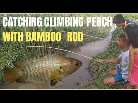 catching climbing perch (poyo) with bamboo fishing rod that will make you awe!