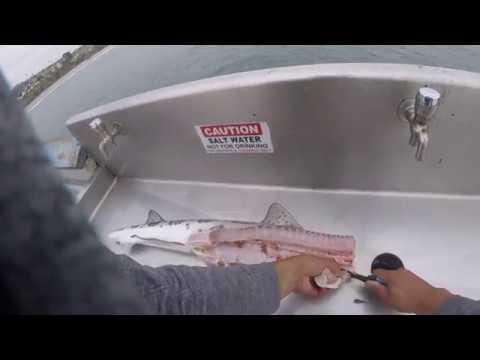 Fileting a leopard shark