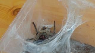 NIK&TOM#24 Odbieranie kokonu od agresywnej samicy Heteroscodra maculata