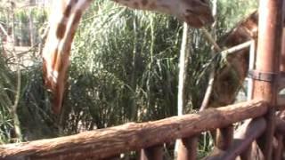 Feeding the giraffes at Oasis Park Zoo in Fuerteventura