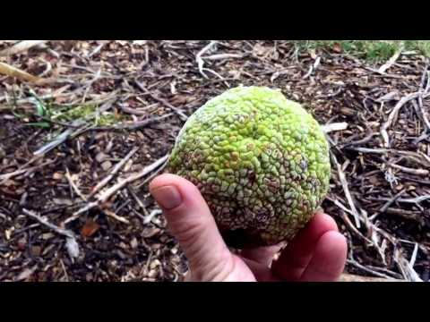 Osage orange for cancer, inflammation, pain, dementia
