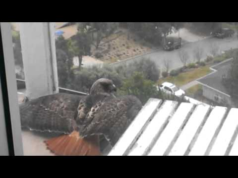 Red Tailed Hawk on my Balcony 1