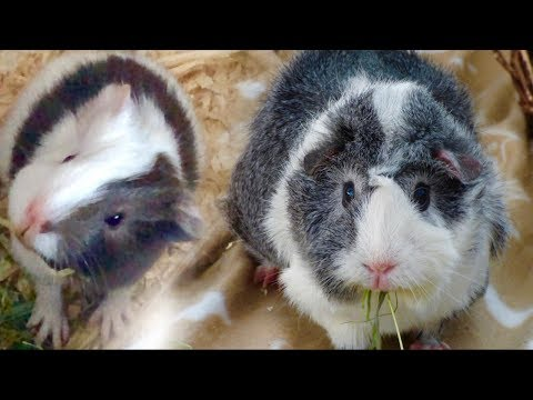 Baby Guinea Pigs vs Adult Guinea Pigs