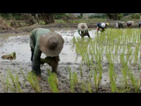 Planting Rice in Chiang Rai, Thailand