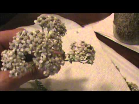 Yarrow: Harvesting & Drying