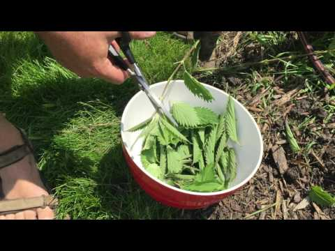 How to Cook and Eat Stinging Nettles