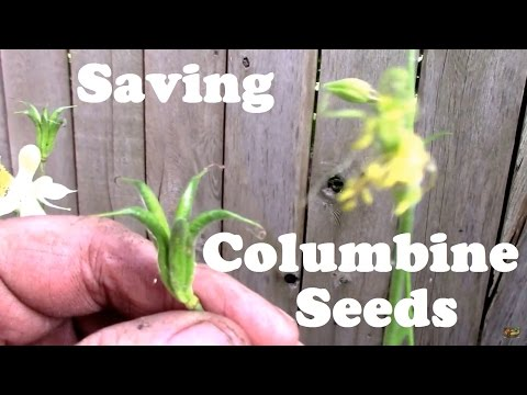 Saving Columbine Seeds is Easy. DIY Seed Collecting.