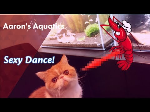 🦐 Crystal Red Shrimp - Sexy Dance! 🦐